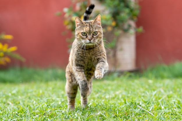 Piękny dorosły kot biegający po ogrodzie i bawiący się w słoneczny dzień.