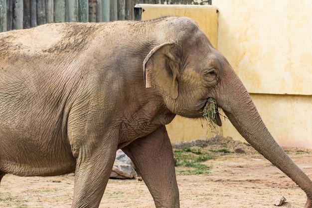 Piękny dorosły słoń, duży ssak, w bio parku.