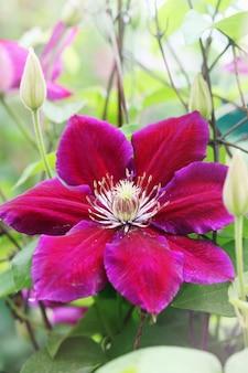 Piękny, duży fioletowy kwiat powojnika w ogrodzie