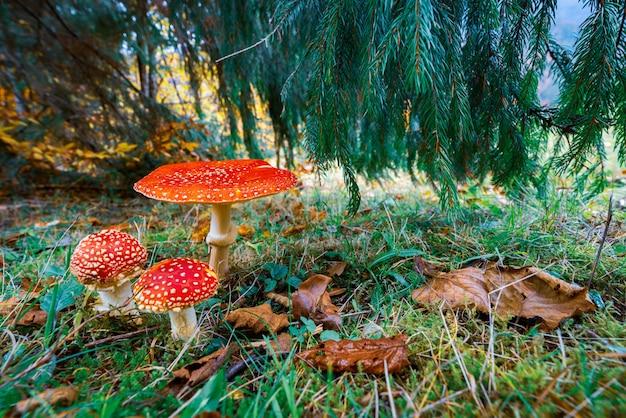 Piękny dziki grzyb amanita na zielonej łące