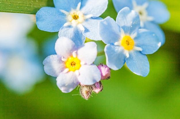 Piękny dziki kwiat forgetmenot myosotis kwitnie wiosną.