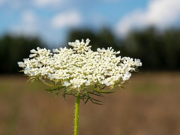 Piękny dziki kwiat w wiosce. selektywne skupienie. niewyraźne tło