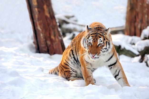 Piękny dziki tygrys syberyjski na śniegu