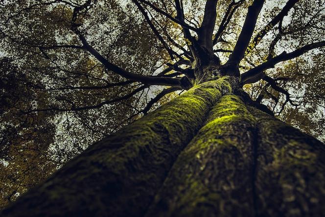 Piękny efekt wysokiego, grubego starego drzewa rosnącego w lesie