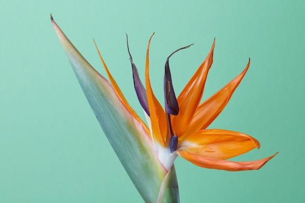 Piękny egzotyczny kwiat królewski strelitzia reginae lub rajski ptak na białym tle