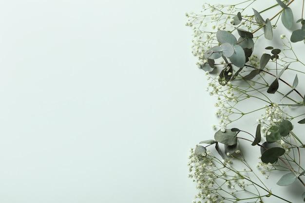 Piękny eukaliptus i łyszczec na białym tle