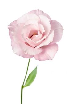 Piękny eustoma kwiat odizolowywający na bielu