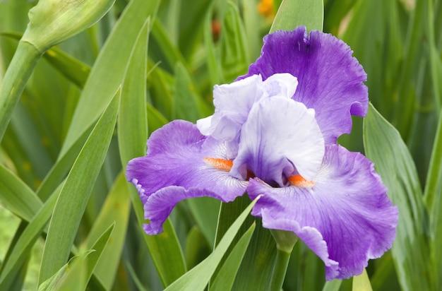 Piękny fioletowo-niebieski irysowy kwiat na kwietniku