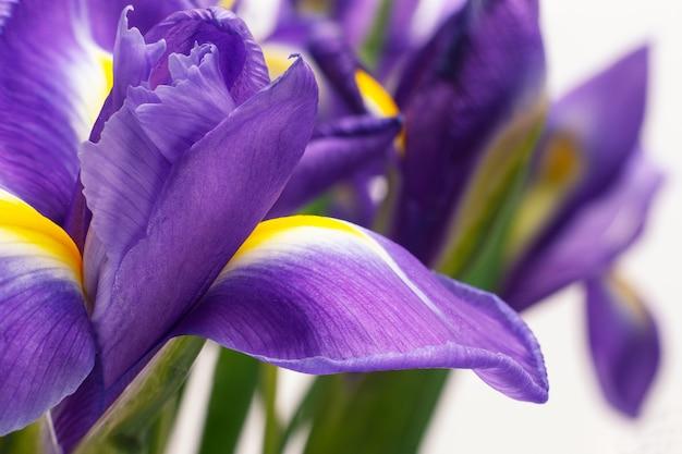 Piękny fioletowy irys kwiat na białym tle