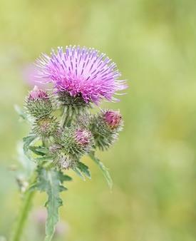 Piękny fioletowy kwiat ostu na tle pola