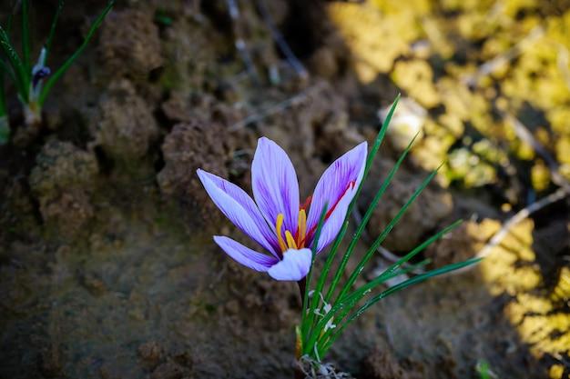 Piękny fioletowy kwiat szafranu na polu podczas kwitnienia w czasie zbiorów
