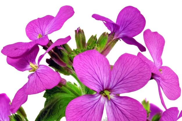 Piękny fioletowy kwiat. zbliżenie na białym tle. na białym tle.