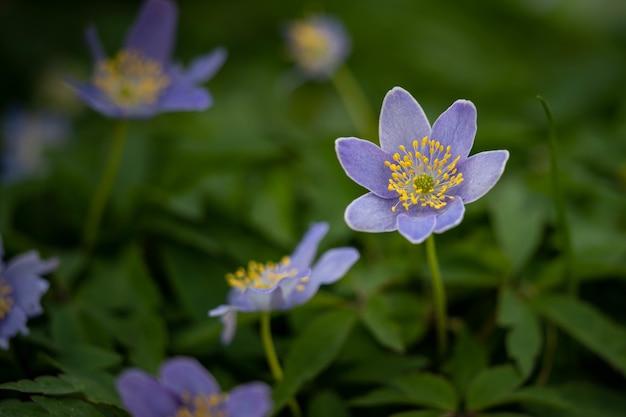 Piękny fioletowy wiosenny kwiat z żółtym środkiem
