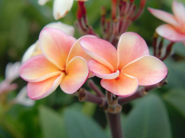 Piękny frangipani kwitnie na gałąź.