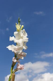 Piękny gladiolusa kwiat z niebieskim niebem
