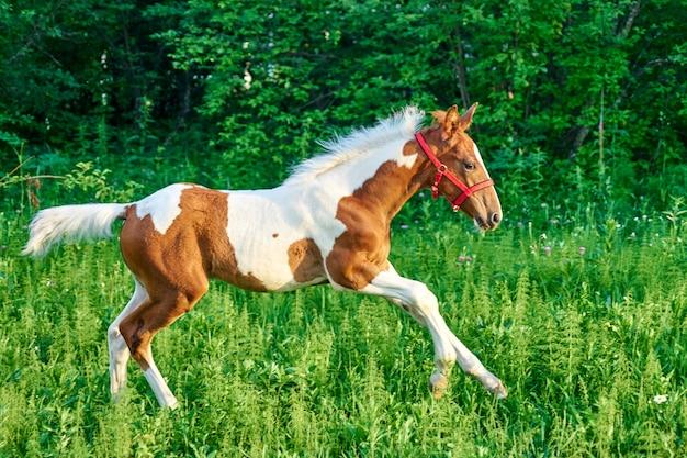 Piękny gniady źrebię biegnie galopem na wiosennych zielonych pastwiskach, tomsk, syberia, rosja