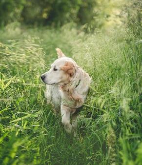 Piękny golden retriever idący przez trawę