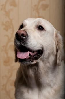 Piękny golden retriever pies fotografujący w domu