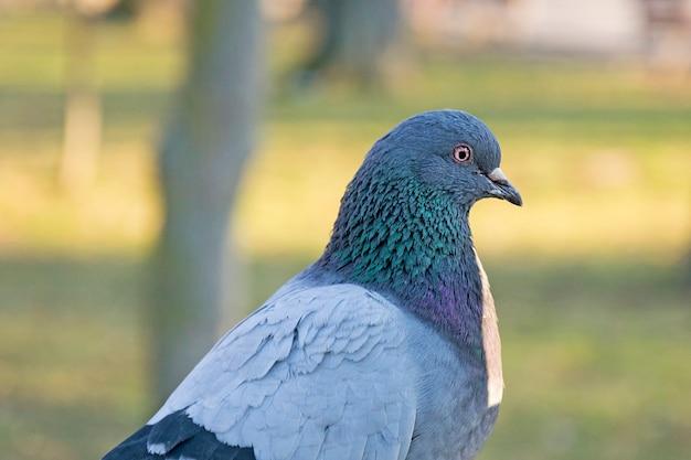 Piękny gołębi portret, nurkujący w parku lub lesie. szary ptak na zewnątrz.