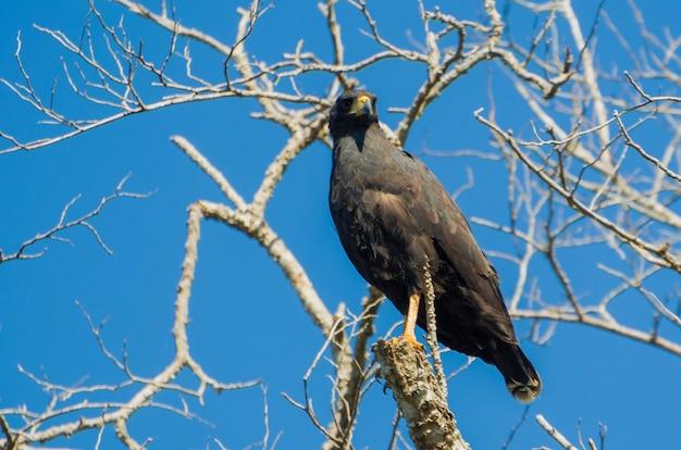 Piękny great black hawk na brazylijskich terenach podmokłych