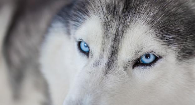 Piękny husky o niebieskich oczach