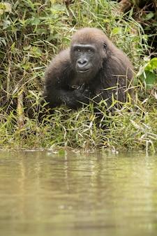 Piękny i dziki goryl nizinny w naturalnym środowisku afryki