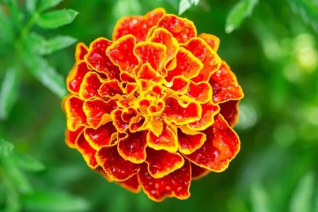 Piękny i jasny kwiat aksamitki (nagietek), zbliżenie