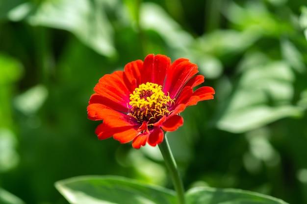 Piękny i jasny kwiat cynia peruwiana
