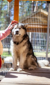 Piękny i miły pasterz z alaskan malamute siedzi w zagrodzie za kratami i patrzy inteligentnymi oczami. woliera kryta. pies jest głaskany ręcznie