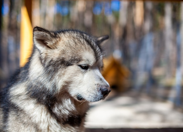 Piękny i miły pasterz z alaskan malamute siedzi w zagrodzie za kratami i patrzy inteligentnymi oczami. woliera kryta.