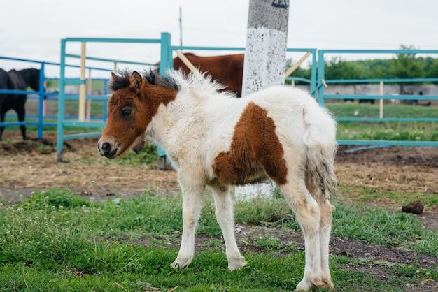 Piękny i młody kucyk spacerujący po ranczo. hodowla zwierząt i hodowla koni.