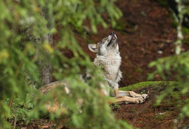Piękny i nieuchwytny wilk eurazjatycki w kolorowe lato