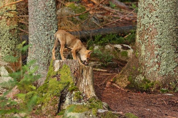 Piękny i nieuchwytny wilk eurazjatycki w kolorowym letnim lesie