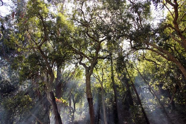 Piękny i tajemniczy widok promieni słonecznych przecinających drzewa w lesie.