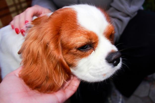 Piękny i uroczy pies rasy cavalier king charles spaniel