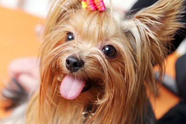 Piękny i uroczy pies yorkshire terrier