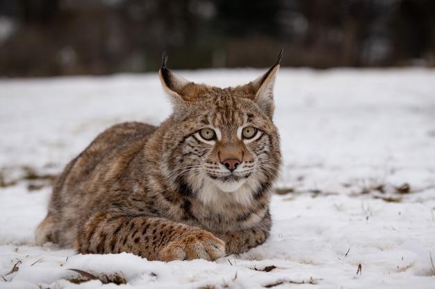 Piękny i zagrożony ryś euroazjatycki w naturalnym środowisku lynx lynx