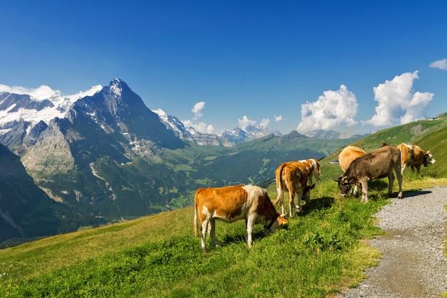 Piękny idylliczny krajobraz alpejski z krów, gór alp i wsi w lecie, szwajcaria