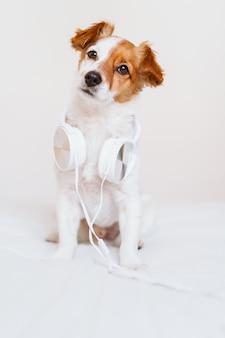 Piękny jack russell pies leżący na łóżku słuchając muzyki na zestawie słuchawkowym. dom, wnętrze, muzyka i styl życia