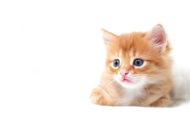 Piękny jasnoczerwony kotek na białym tle wygląda z boku. młody ładny mały czerwony kotek. długowłosy rudy kociak bawi się w domu. słodkie śmieszne zwierzęta domowe. miejsce na tekst.