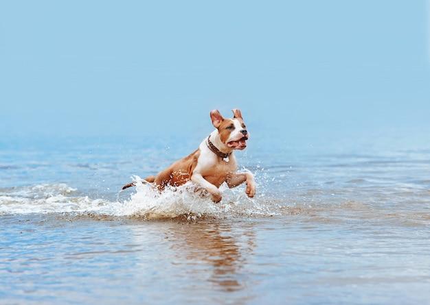 Piękny jasnoniebieski pies rasy american staffordshire terrier kąpie się w wodzie, skacze i natryskuje