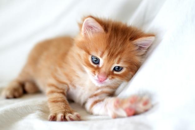 Piękny jasny czerwony kotek na białym tle gra. młody ładny mały czerwony kotek. długowłosy rudy kociak bawi się w domu. słodkie śmieszne zwierzęta domowe. zwierzę domowe i młode kocięta.