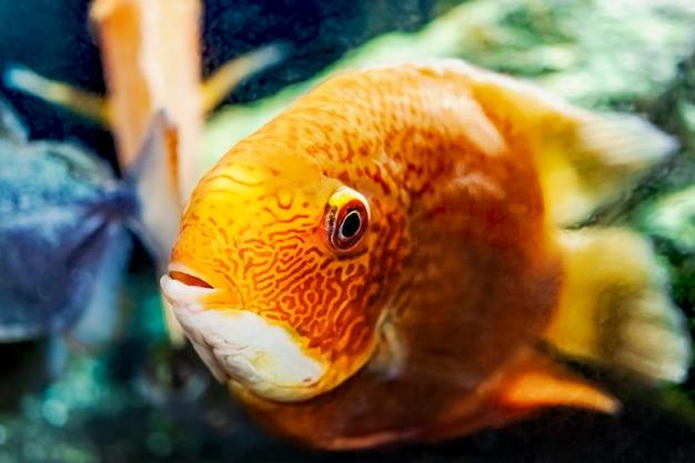 Piękny jasny pomarańczowy pielęgnica czerwona papuga w akwarium. cichlasoma. zbliżenie.