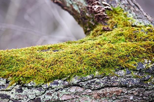Piękny jasny zielony mech pokrywający pień drzewa w lesie. drewno pełne tekstury mchu w przyrodzie na tle