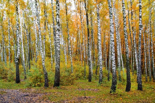 Piękny jesienny dzień, brzozowy zagajnik, żółte i pomarańczowe liście