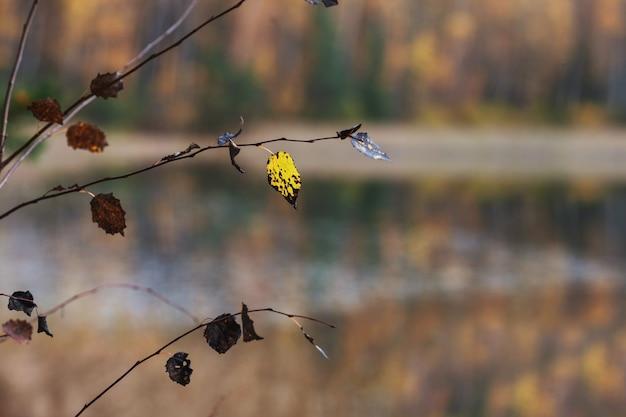 Piękny jesienny krajobraz z niewyraźnymi żółtymi drzewami. gałąź z żółtym liściem z przodu. kolorowe liście w parku. spadające liście naturalne tło