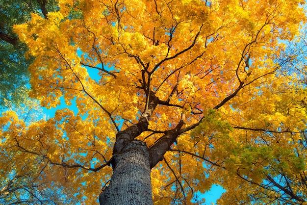 Piękny jesienny krajobraz z żółtymi drzewami, zielenią, słońcem i błękitnym niebem