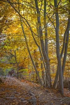Piękny jesienny las bukowy w górach montseny w hiszpanii