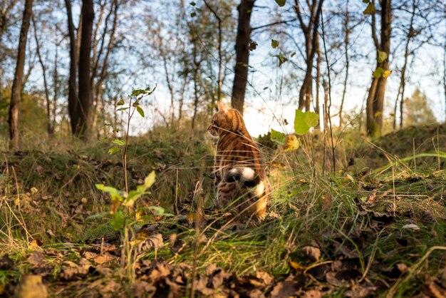 Piękny jesienny las krajobraz z bengalskim kotem domowym