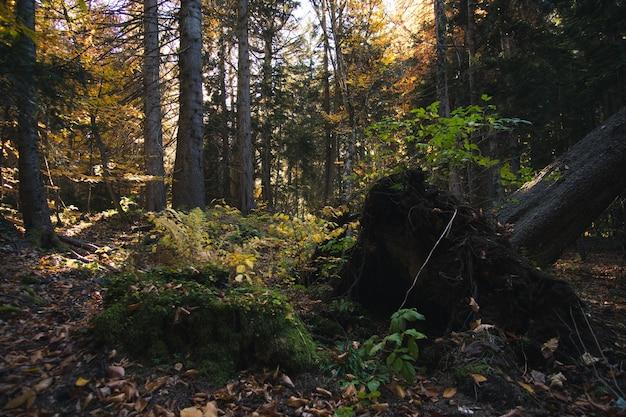 Piękny jesienny las z promieniami słońca o zachodzie słońca żółtymi liśćmi i sosnami z jodłami